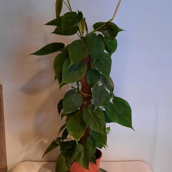 Philodendron rankend